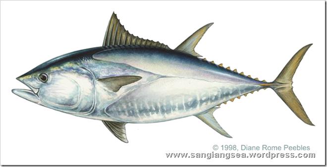 tuna_southblue